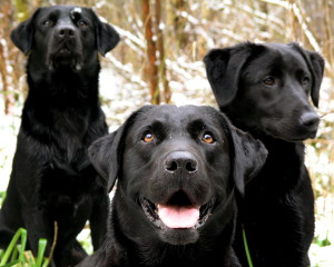 Black_Labrador_Retrievers_portrait