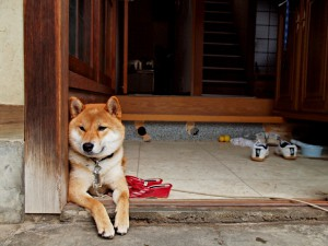 Shiba_inu_at_the_entrance_of_a_house,_-Japan_2010_a
